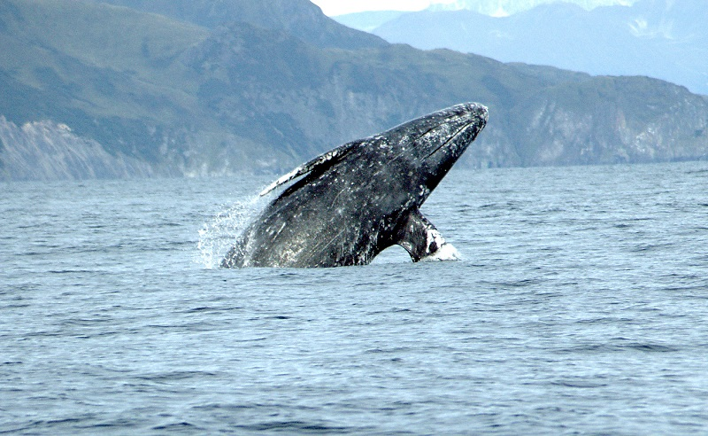 Grey Whales and Where to Spot Them